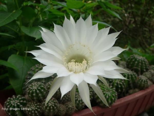 cactus-inflorit-dragos-serban