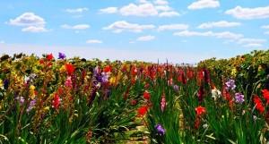 camp-gladiole bulbi gladiole