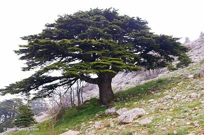 cedru-liban