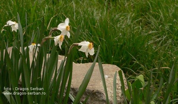 cele-mai-frumoase-flori-primavara-narcise