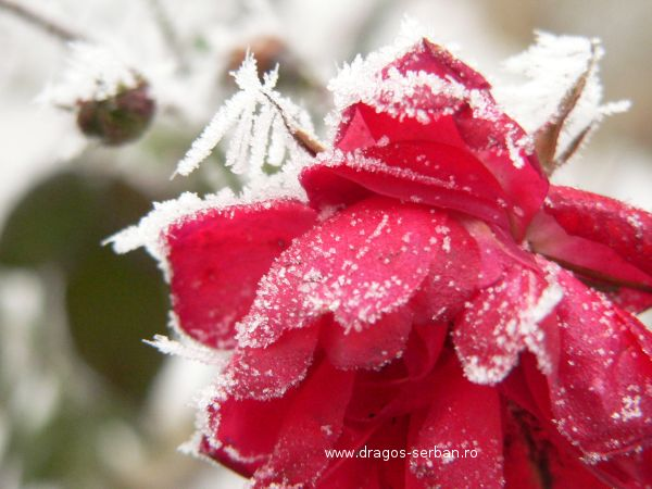 chiciura-gheata-zapada-trandafir