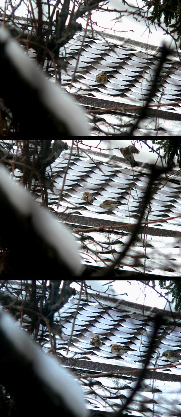 cocosar-turdus-pilaris