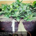 ficus-ginseng-ingrijire-cultivare-sfaturi