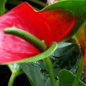floare-anthurium-ghiveci-ingrijire-pret