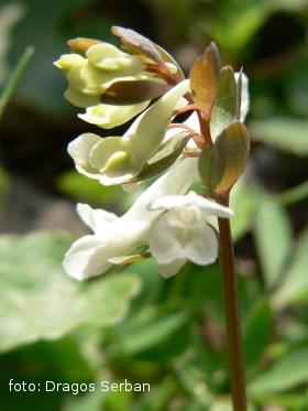 floare-brebenei-flori-primavara