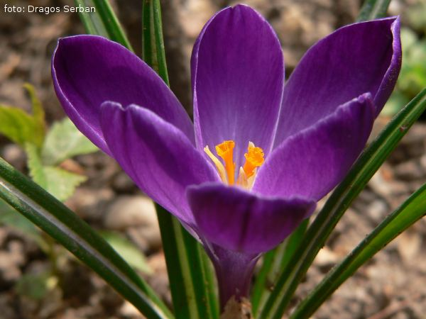 floare-crocus-brandusa