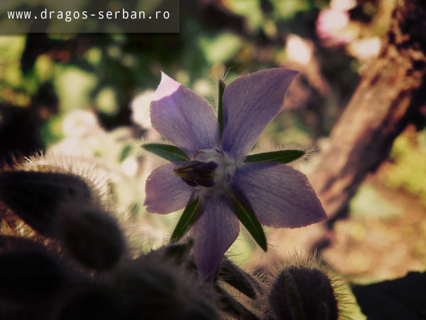 floare-limba-mielului
