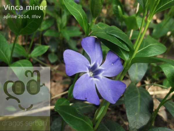 flori-albastre-de-primavara-dragos-serban