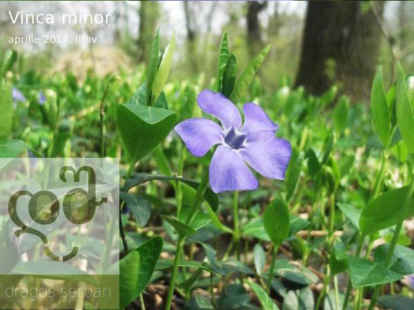 flori-albastre-vinca-minor-dragos-serban