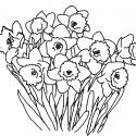flori-de-primavara-de-colorat-narcise