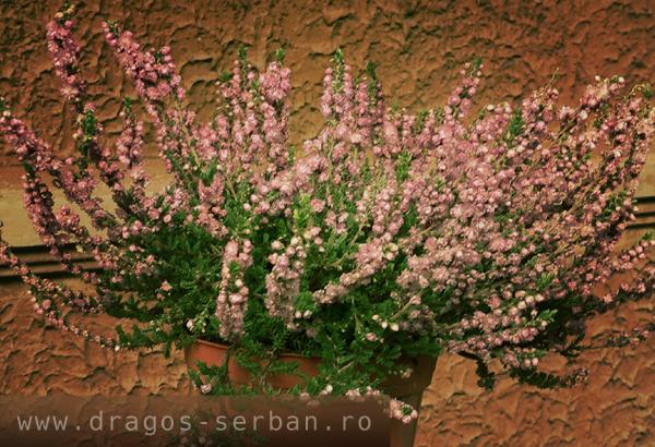 flori-de-toamna-iarba-neagra