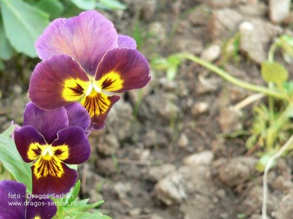 flori-frumoase-panselute
