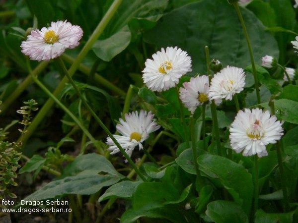 flori-frumoase-primavara-banuti