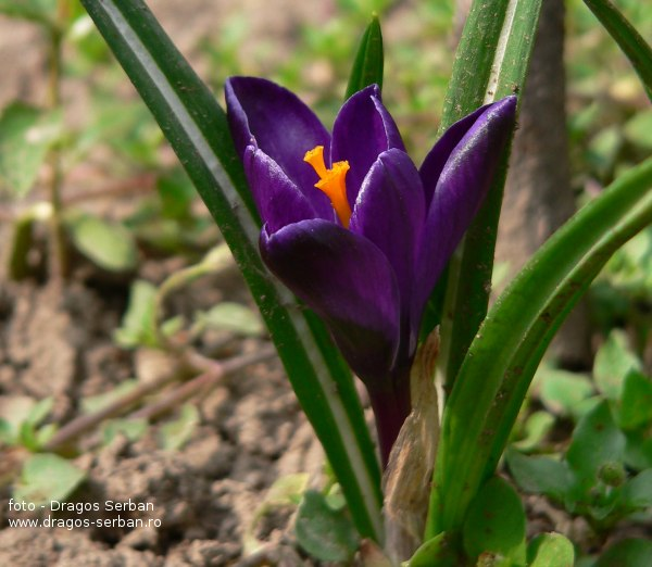 flori-frumoase-primavara-brandusa-crocus