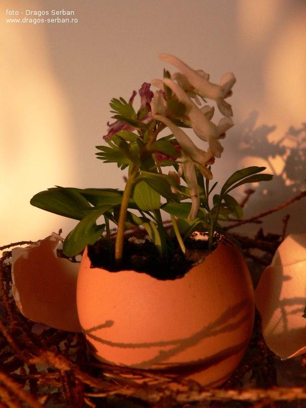 flori-frumoase-primavara-brebenei