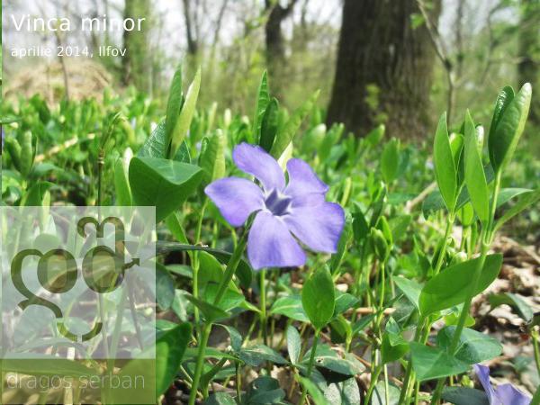 flori-primavara-albastre-saschiu