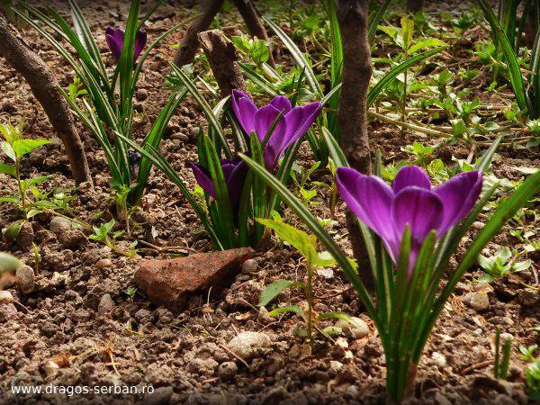 flori-primavara-brandusa-crocus-dragos-serban
