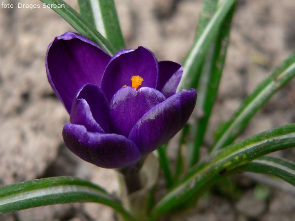 flori-primavara-top-cele-mai-frumoase