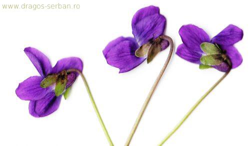 flori-primavara-violete-viola-odorata-dragos-serban