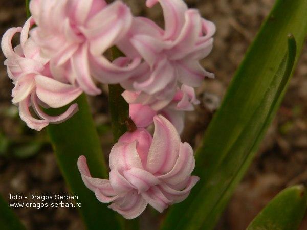 flori-primavara-zambile-roz