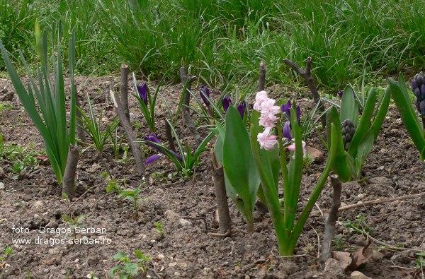 flori-primavara-zambile
