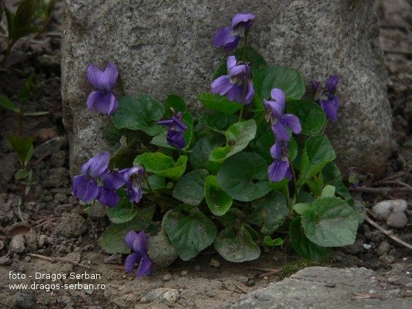 frumoase-flori-violete-viola-odorata