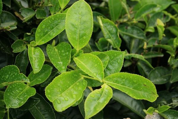 frunze-de-ceai-adjaria