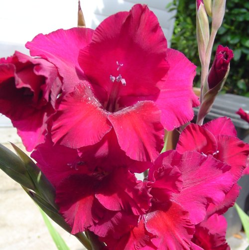 gladiola-inflorita