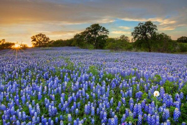 lupin-flori-albastre-apus