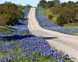 lupin-flori-albastre-pe-drum-thomas-pettengill