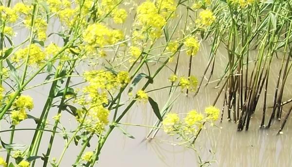 specie-sunatoare-hypericum